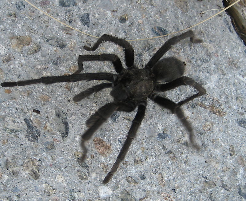 Small Black Fuzzy Spider http://terrigick.typepad.com/terri_gick/2008/09/another-black-hairy-spider.html